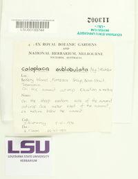 Caloplaca sublobulata image