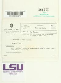 Megalaria versicolor image