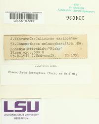 Chaenotheca ferruginea image