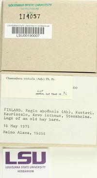 Chaenotheca trichialis image