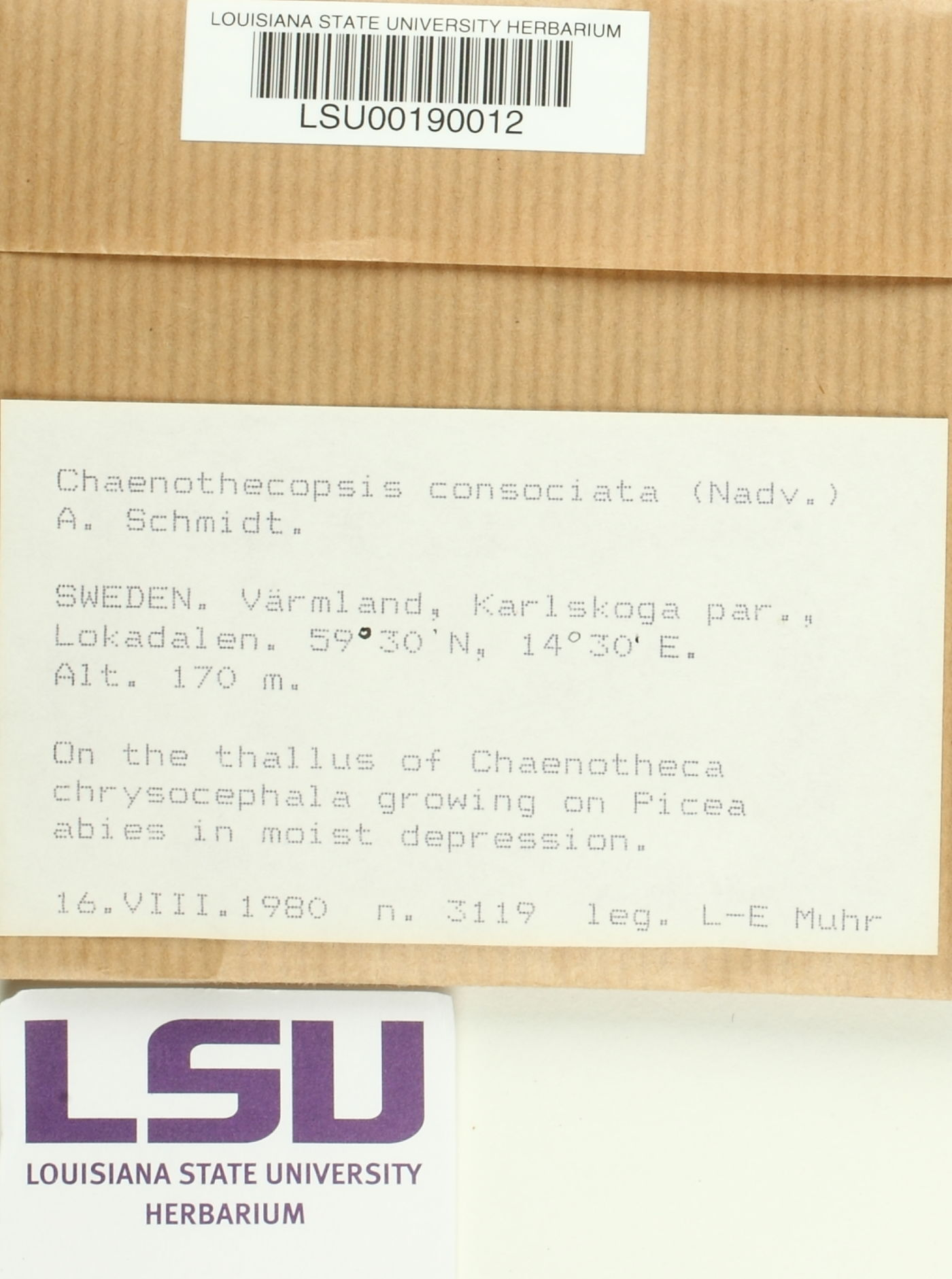 Chaenothecopsis consociata image
