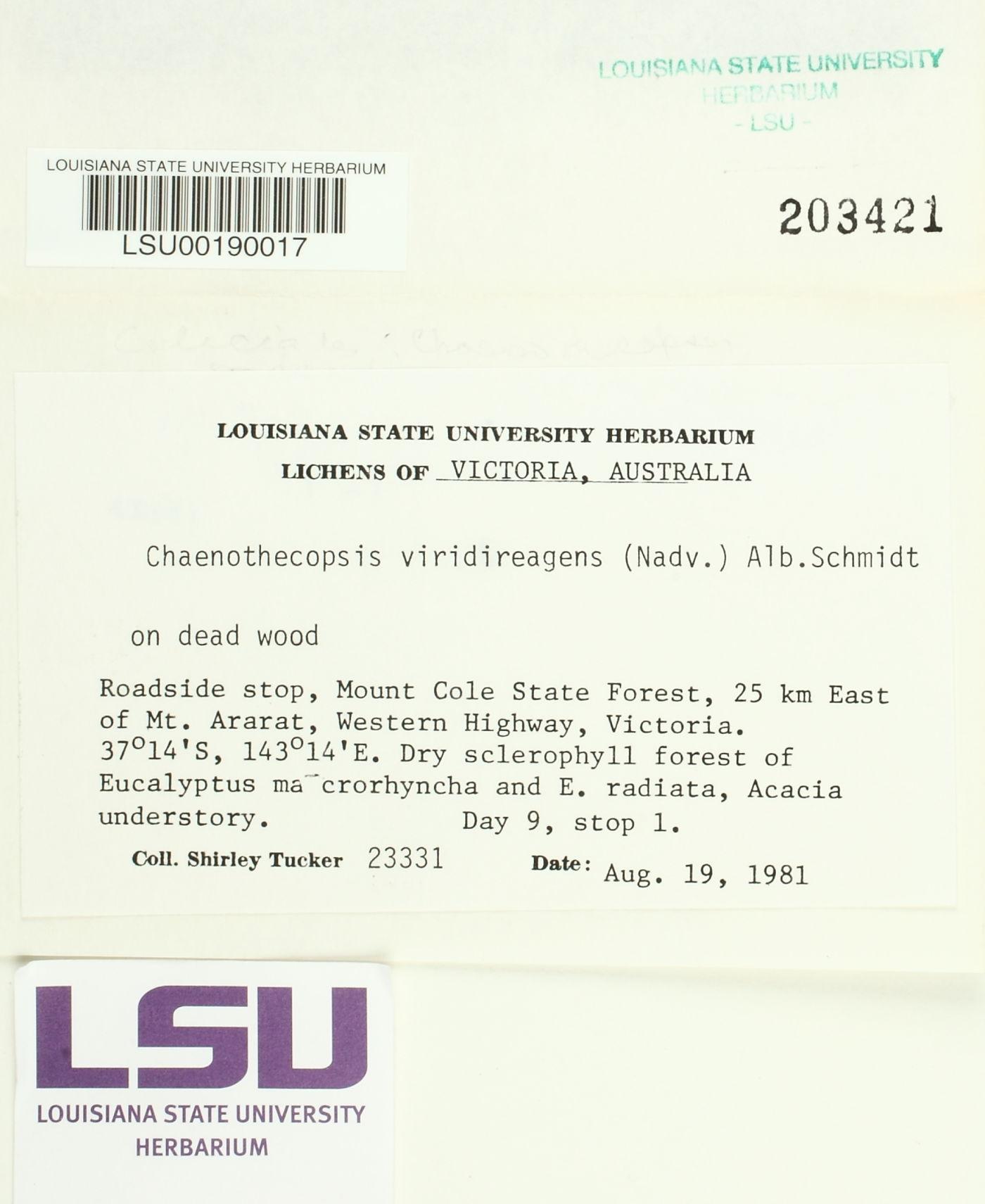 Chaenothecopsis viridireagens image