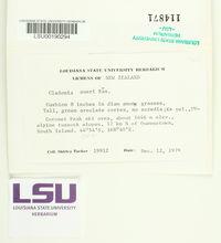 Image of Cladonia aueri