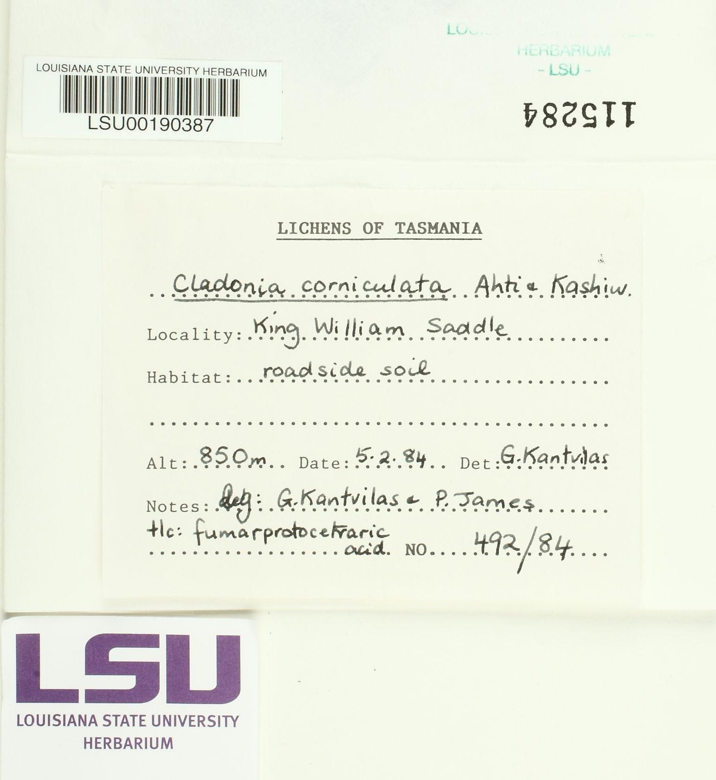 Cladonia corniculata image