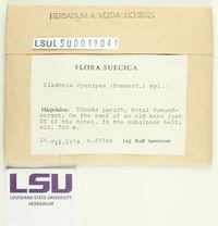 Cladonia cyanipes image