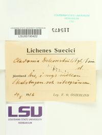 Cladonia delessertii image