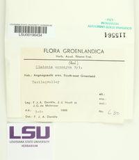 Cladonia ecmocyna image