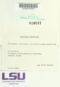 Cladonia gracilis subsp. gracilis image