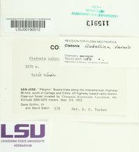 Image of Cladonia isabellina