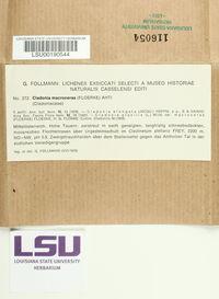 Cladonia macroceras image