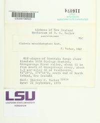 Cladonia merochlorophaea image