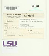 Cladonia peltastica image