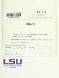 Image of Cladonia peltastica