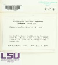Cladonia ramulosa image