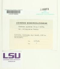 Cladonia squamosa var. subsquamosa image