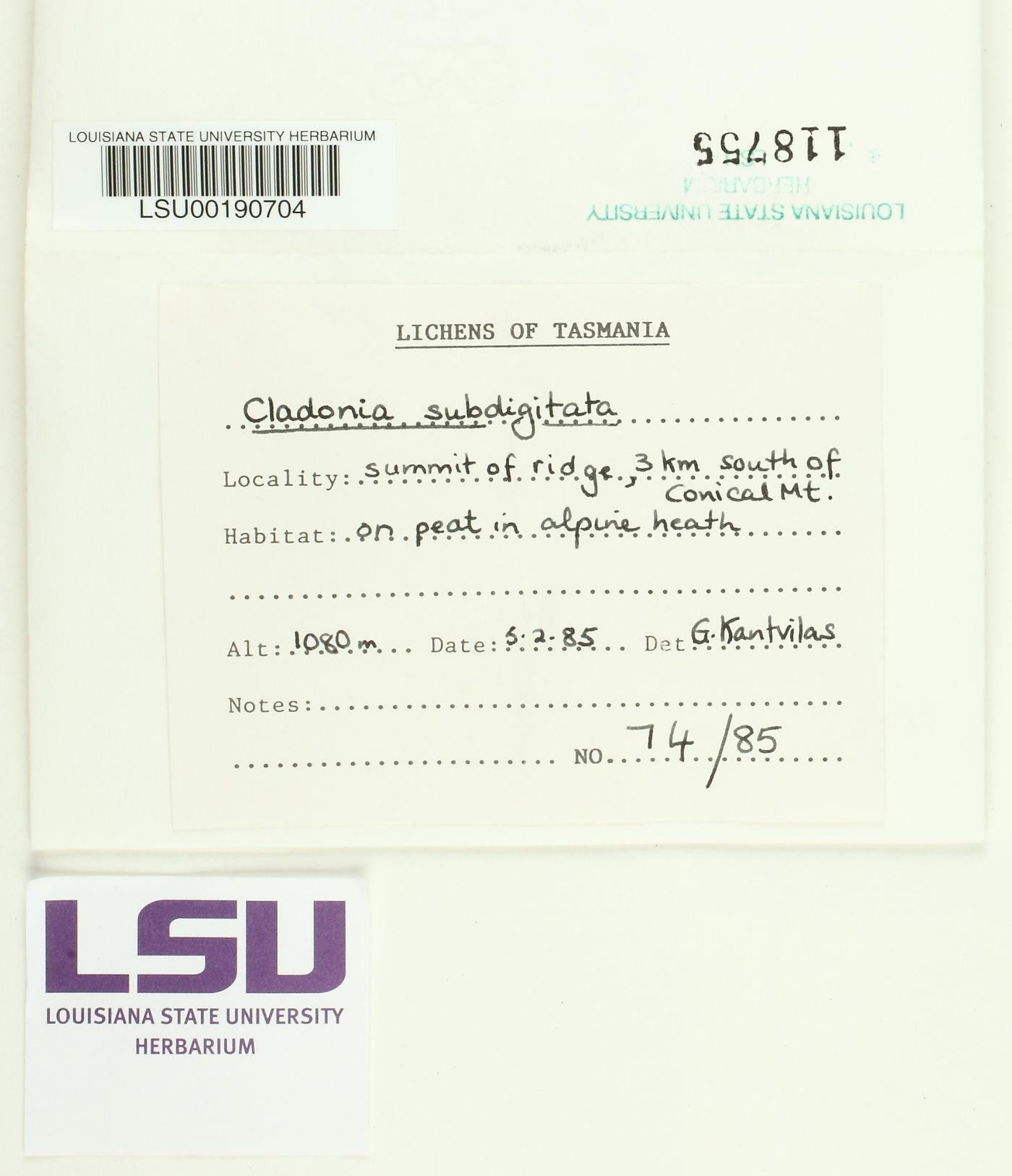 Cladonia subdigitata image