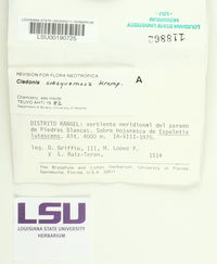 Cladonia subsquamosa image