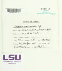 Image of Cladonia subsubulata