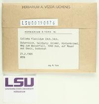 Collema flaccidum image