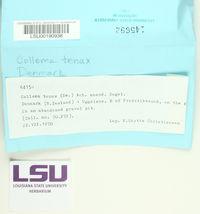 Enchylium tenax image