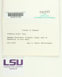 Cladonia zopfii image