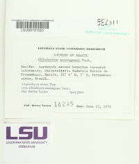 Cryptothecia striata image