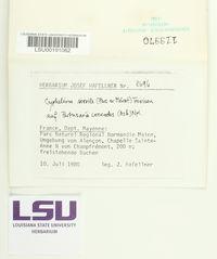 Cyphelium sessile image