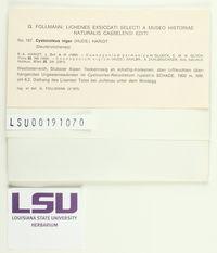 Cystocoleus ebeneus image