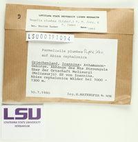 Pectenia plumbea image
