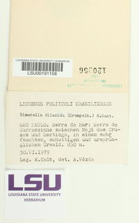 Image of Coenogonium dilucidum