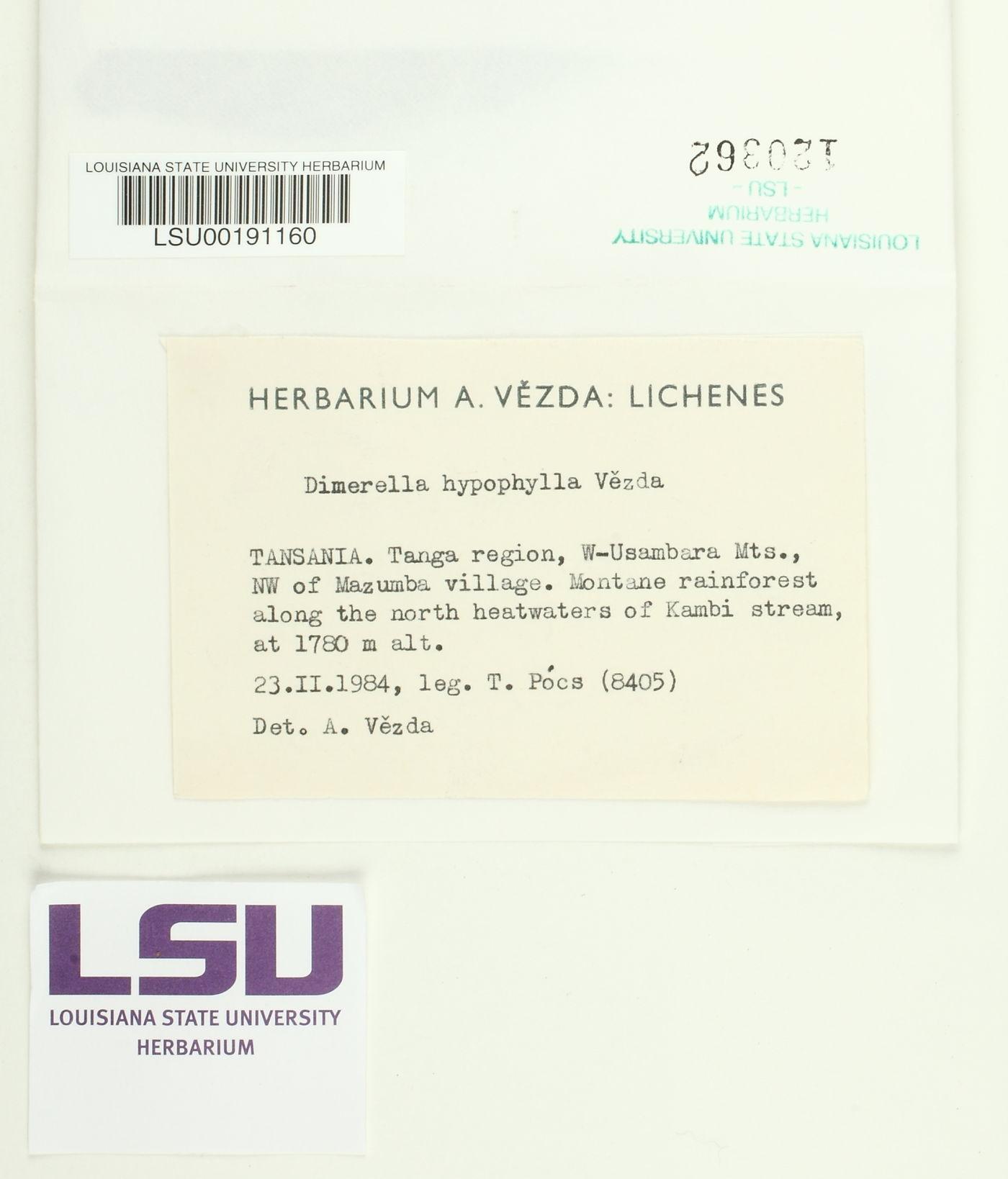 Coenogonium hypophyllum image
