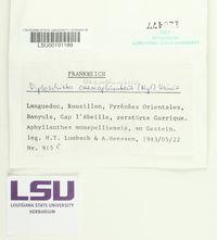Image of Diploschistes caesioplumbeus