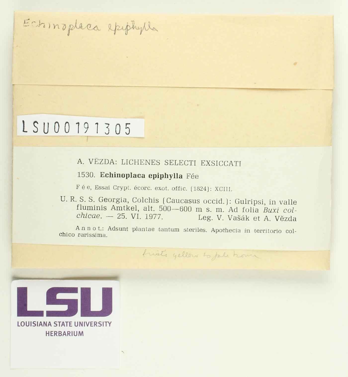 Echinoplaca epiphylla image
