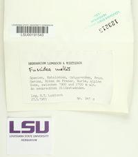 Image of Fuscidea mollis