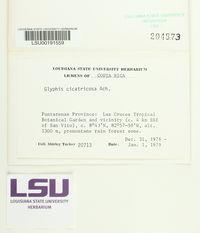 Glyphis cicatricosa image
