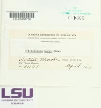 Leucodermia boryi image