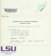 Leucodermia circinalis image