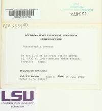 Heterodermia comosa image