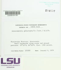 Heterodermia galactophylla image