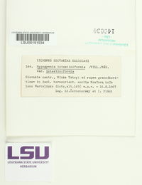 Brodoa intestiniformis image