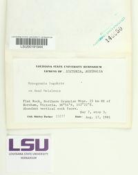 Hypogymnia lugubris image