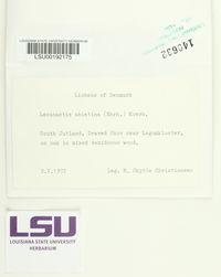 Lecanactis abietina image