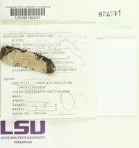 Lecanora farinacea image