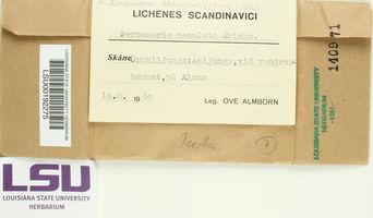 Lecanora impudens image