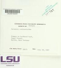Lecanora conizaeoides image