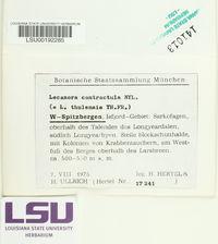 Myriolecis contractula image
