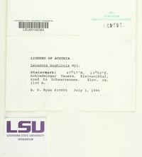 Lecanora mughicola image