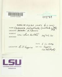 Image of Lecanora poliophaea