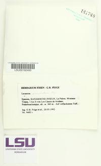 Lecanora pseudistera image