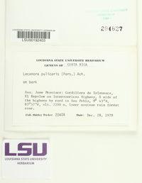 Lecanora pulicaris image